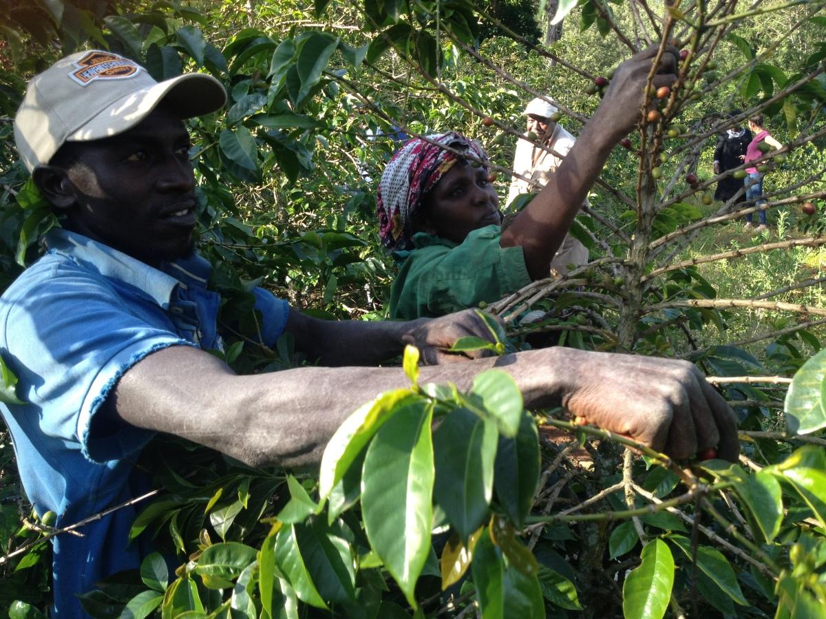 Trumps protektionisme skaber nye problemer for verdenskaffebønder